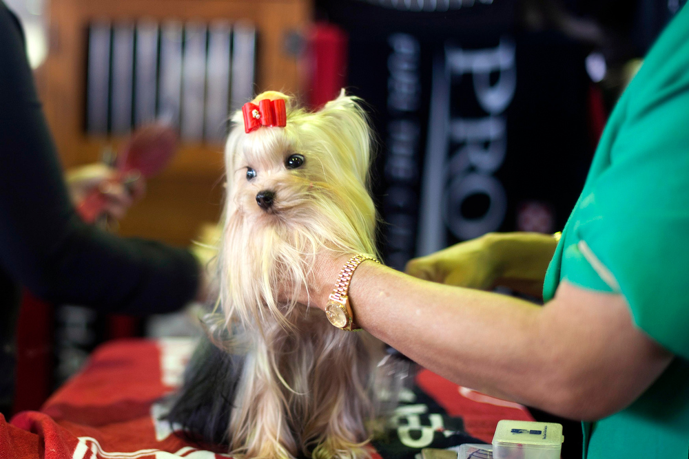 Description of . A Yorkshire terrier is groomed during the 137th Westminster Kennel Club Dog Show in New York, February 11, 2013. More than 2,700 prized dogs will be on display at the annual canine competition. Two new breeds, the Russell terrier and the Treeing Walker coonhound, will be introduced in the contest. REUTERS/Keith Bedford