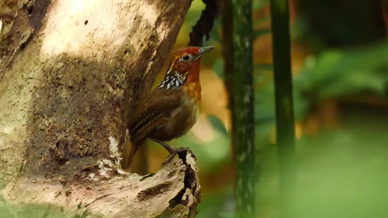 Few things are as good as being in the Amazon and having the chance to see and hear the Musician Wren. It's magical. Video by guide Bret Whitney from one of our 2018 Rio Negro Paradise: Manaus. Brazil tours.