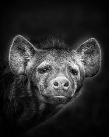 Misunderstood Hyenas
