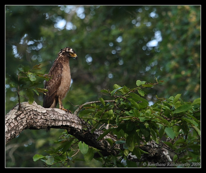 Crested Serpent Eagle, Kabini, Mysore, Karnataka, India, June 2009