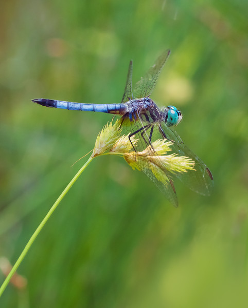 Dragonfly Hunting