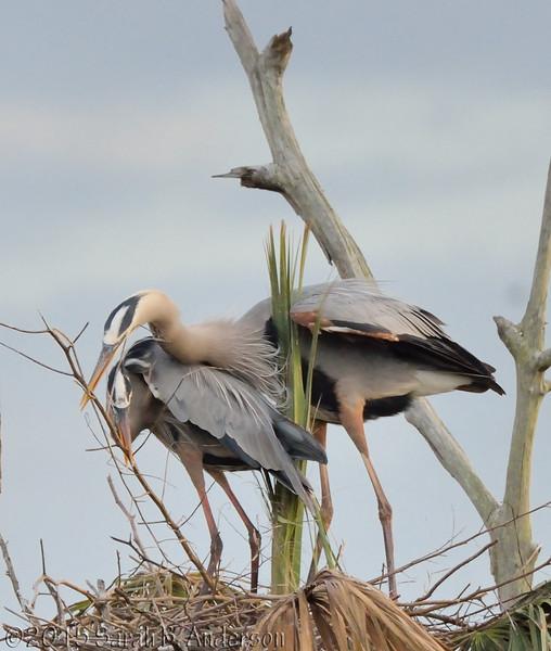 Great Blue Herons, nest building-bonding