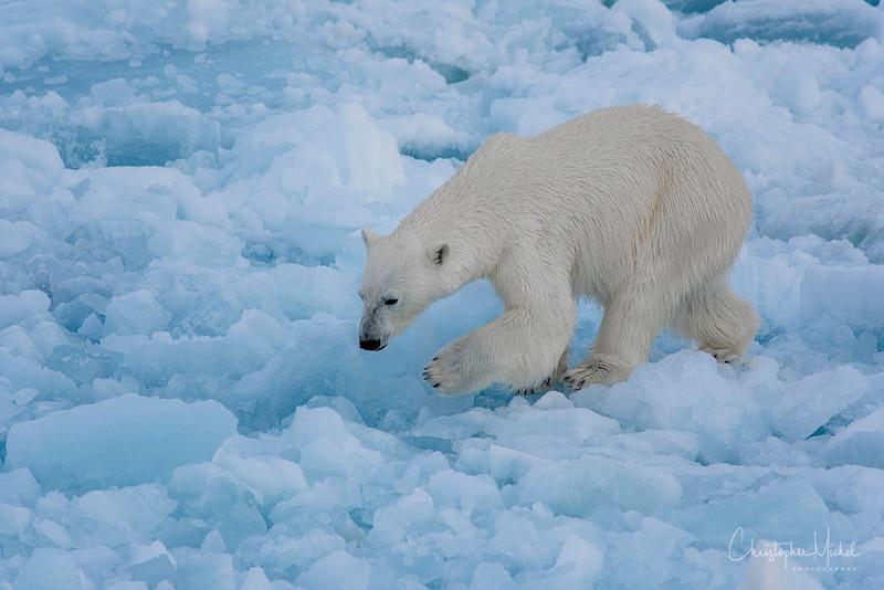 150630_Polar Bear at Ship_9596.jpg