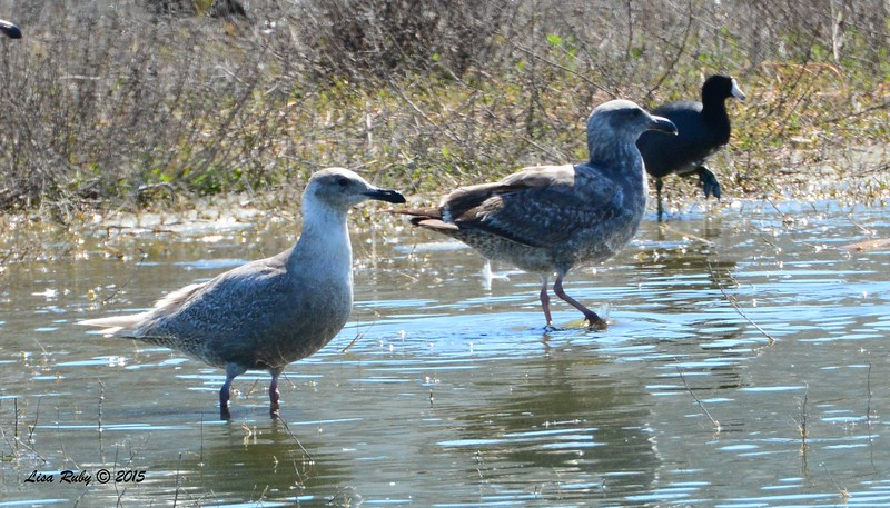First winter Glaucous-winged Gull, first winter Western Gull (I think) - 3/6/2015 - Oceanside Harbor river mouth