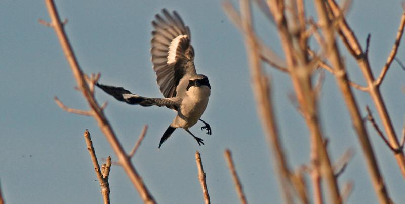 Loggerhead Shrike, Sacto