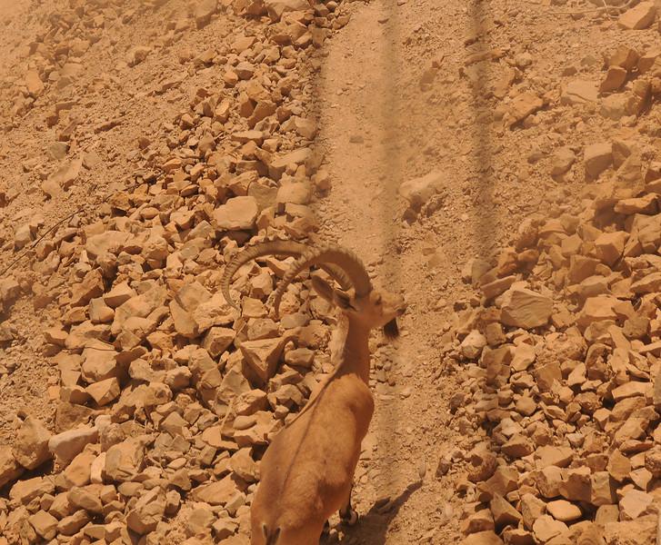 Israel, Masada National Park, Ibex