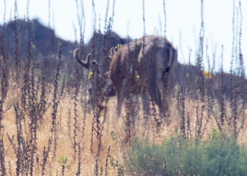 Mule Deer Antelope Island UT