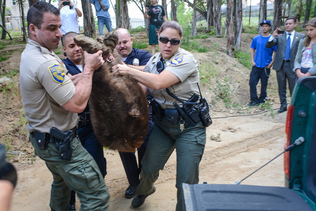 . Game wardens load a tranquilized bear captured in the Shadow Hills area of Sun Valley early Wednesday morning.  The LAPD tracked the bear down and fish and game was able to dart the bear and to be released back into the wild.  Photo by David Crane/Staff Photographer