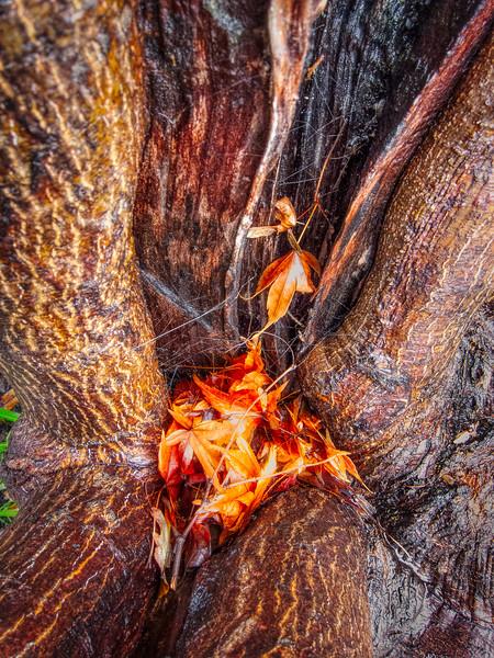Tree, Saratoga Foothill Club, Saratoga, California, 2010