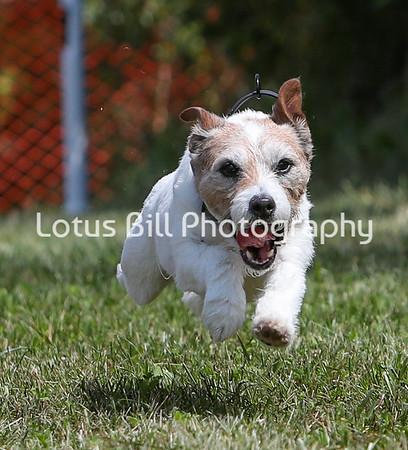 Jack Russell Terrier SR