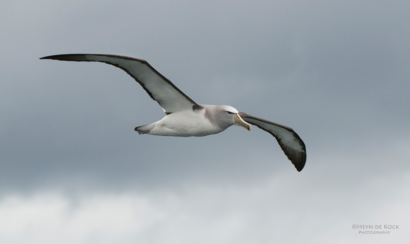 Salvin's Albatross, Stewart Island Pelagic, SI, NZ, Jan 2013.jpg