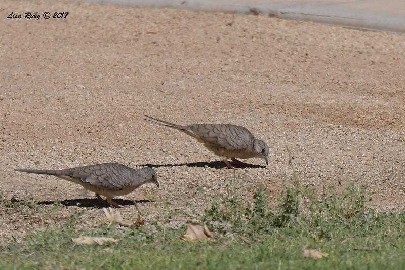 Inca Doves  - 9/17/2017 - Borrego Springs Roadrunner Club