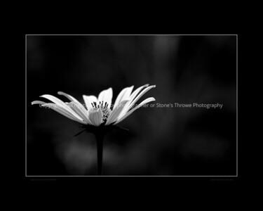 015-flower-wdsm-05aug13-18x12-003-bw-bbp-0752