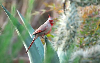 Cardinals and Allies (Family Cardinalidae)