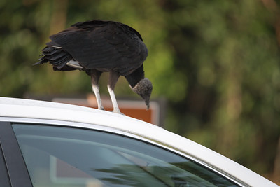 03_Everglades - Black Vulture