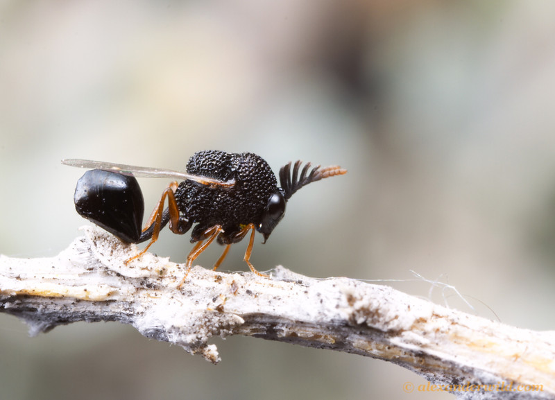 Eucharitid wasp, male.   Hallelujah Junction, California, USA.