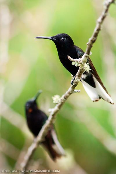Florisuga fusca (black jacobin)