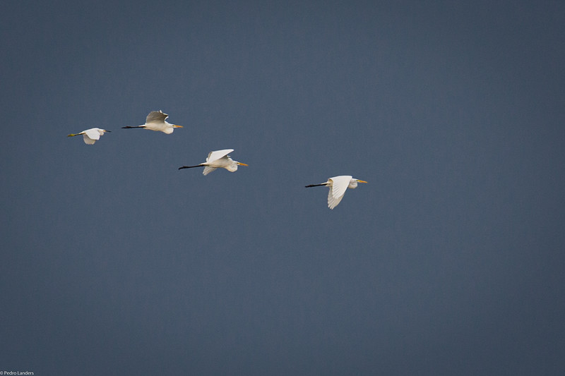 Mixed Egrets.jpg