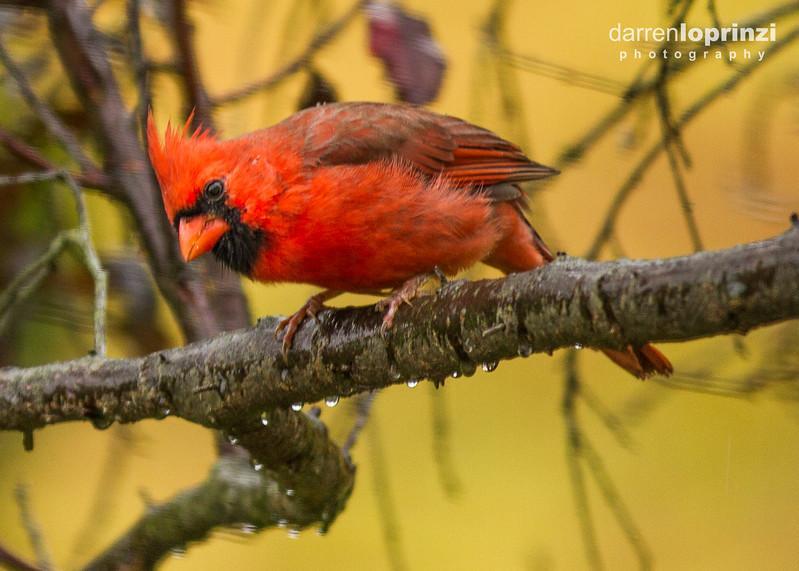 northern cardinal wm-5222.jpg