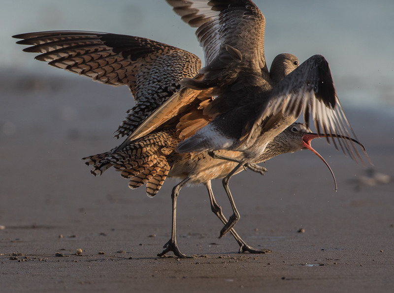 Curlew and Willet
