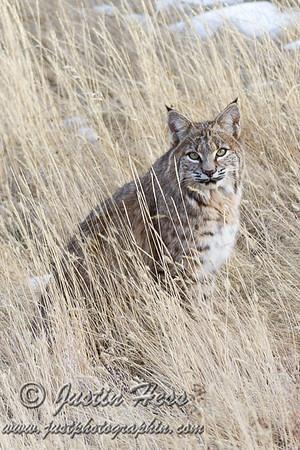 Bobcat 11-28-2014