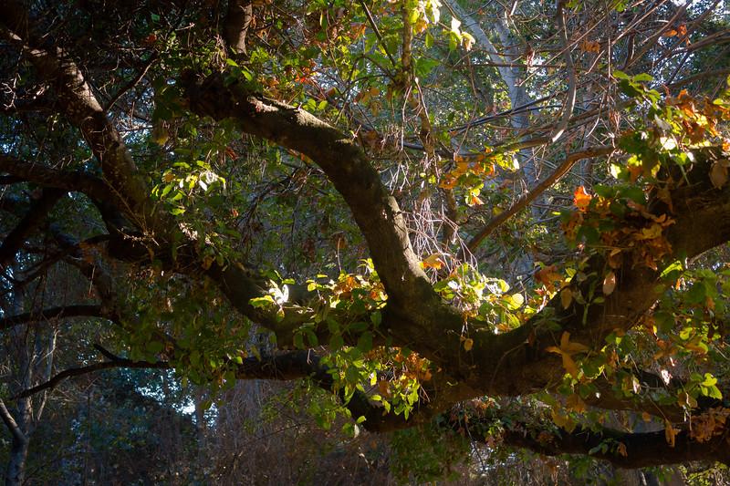 stevens creek trail - branches 1.jpg