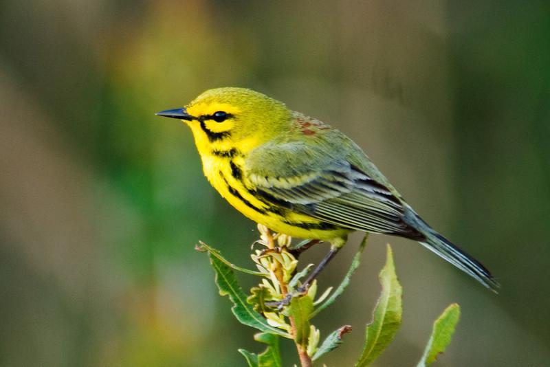 Warbler - Prairie - Ocracoke Island, NC