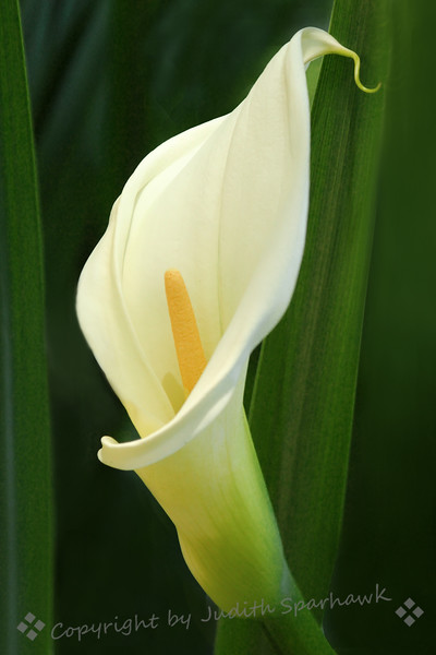 Calla Beauty ~ This unusual Calla Liy was at Descanso Gardens, in Southern California.
