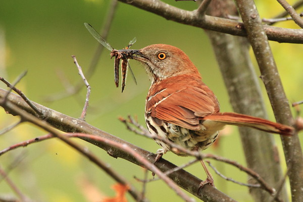 Mimic-Thrushes,Starlings