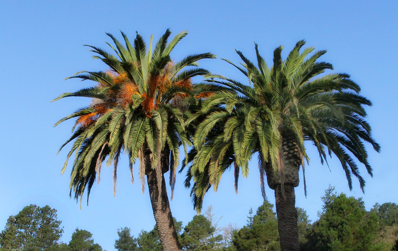 Palms at entrance of Cambria Palms.jpg
