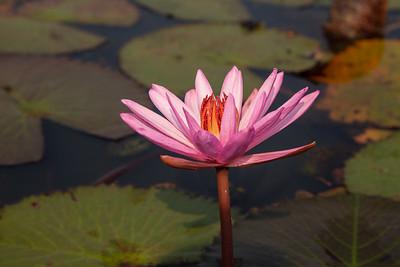 Red Lotus Sea Near Udon Thani, Thailand