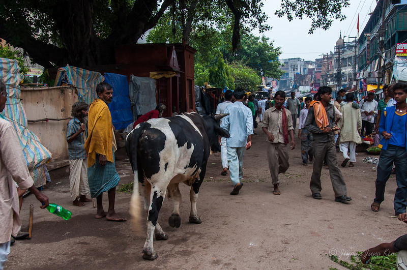 Cows on the street