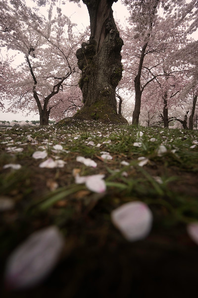 cherryblossompetal.jpg