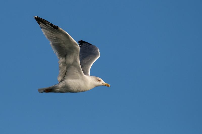 mewa romańska | yellow-legged gull | larus michahellis