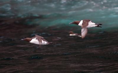Alkefugler