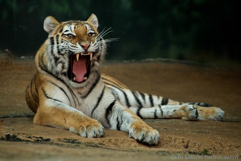 Tiger-018.jpg