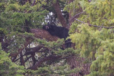 Black Bear Photos