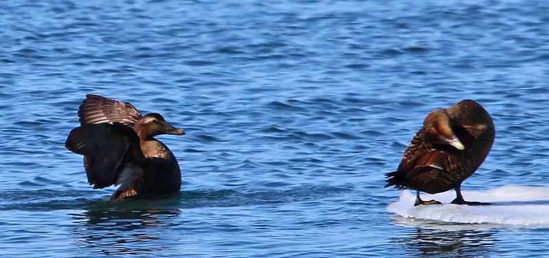 ducks 3-15.jpg