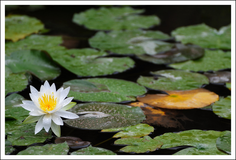 Water lilies at the botanical marshland
