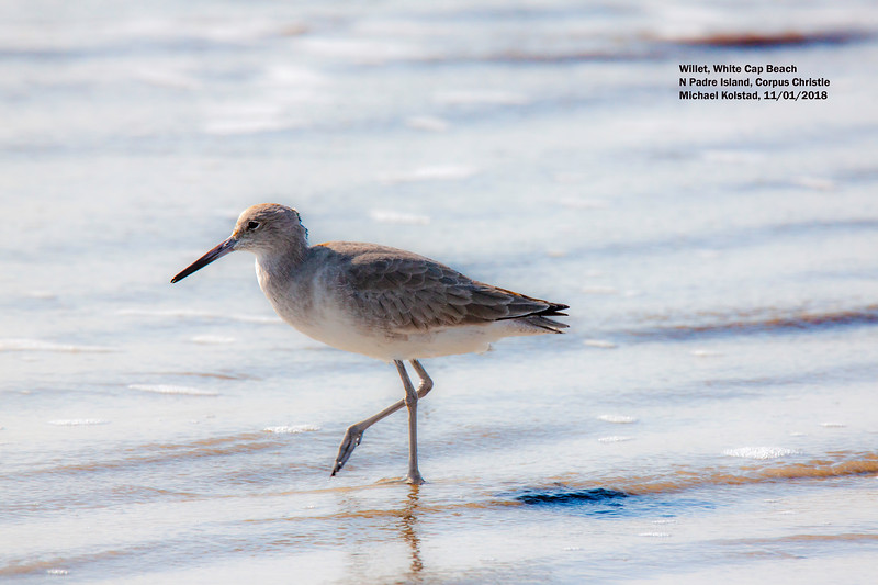 IMG_8468 3T Willet N Padre Is.jpg