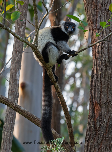 Black and White Ruffed Lemur (Rescued)