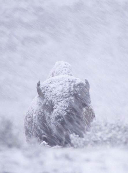 Buff-snowstorm1c.jpg