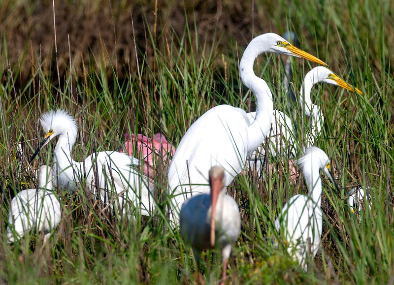 Snow Egret left.  Roseate Spoonbill middle.  2 Great Egrets middle and right.