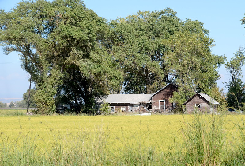 An old farm house is seen near a field of rice in Butte County, California Friday Aug. 31, 2018.  (Bill Husa -- Enterprise-Record)
