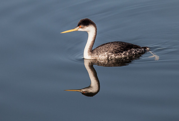 Grebes and Loons