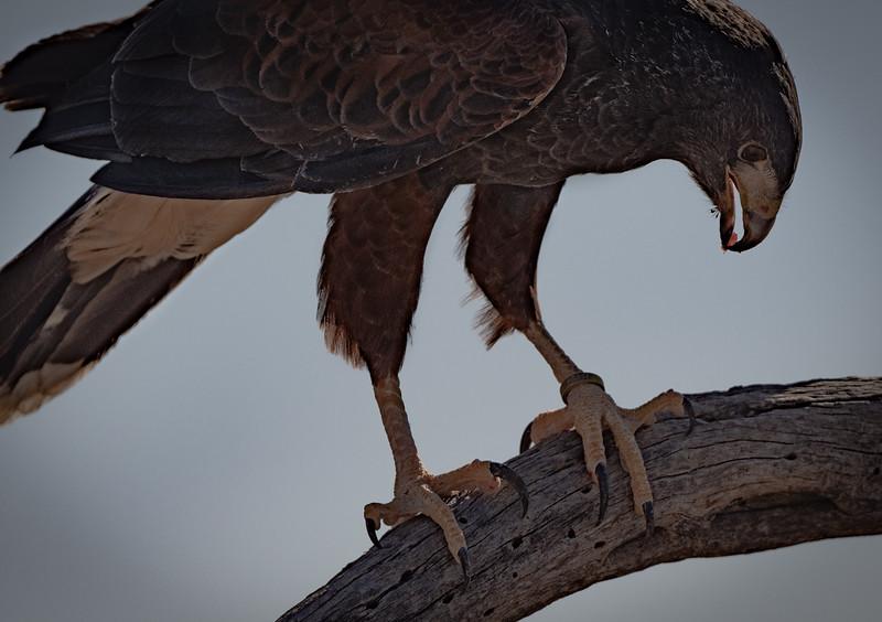 Harris's Hawk close up