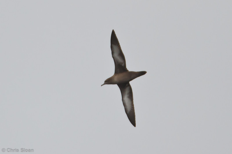Sooty Shearwater at pelagic out of Bodega Bay, CA (10-15-2011) - 448.jpg