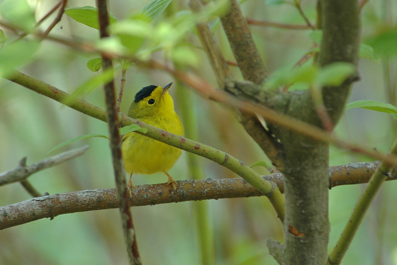 Warbler - Wilsons - Long Point, Ontario