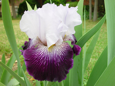 Potential Bearded Iris Introductions