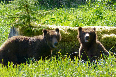 Say Cheese!  Brown Bear Youngsters May 2016, Cynthia Meyer, Tenakee Springs, Alaska P1180960